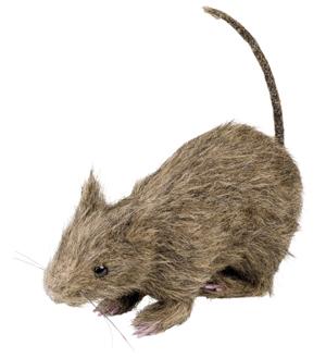 Rat harig